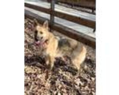 Adopt Mischa a Brown/Chocolate - with Black German Shepherd Dog / Mixed dog in