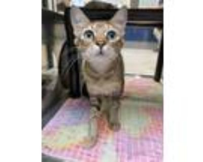 Adopt Amaretto a Brown or Chocolate Domestic Shorthair / Abyssinian / Mixed cat