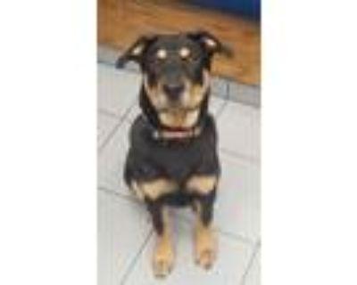 Adopt Blaze a Shepherd, Rottweiler
