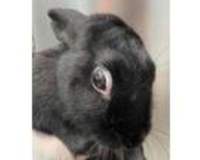 Adopt Onyx a Bunny Rabbit