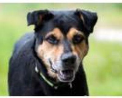 Adopt Allie a Terrier, Rottweiler