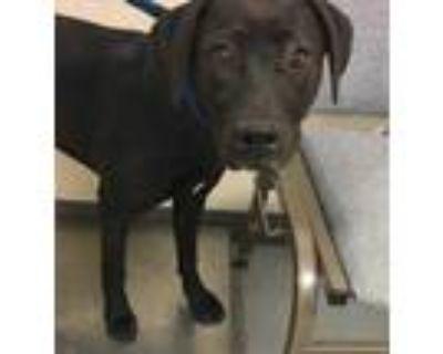 Adopt 47743200 a Black Labrador Retriever / Mixed dog in Los Lunas