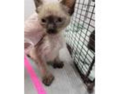 Adopt ZEPHINE a Tan or Fawn Siamese / Mixed (short coat) cat in Loveland