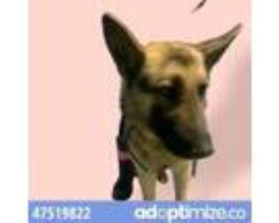 Adopt 47519822 a Brown/Chocolate German Shepherd Dog / Mixed dog in El Paso