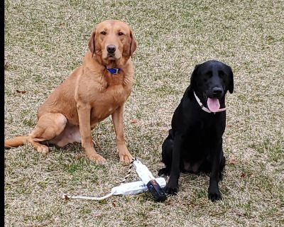 Labrador Retriever Puppies out of UK lines