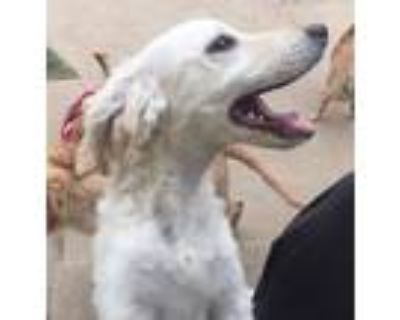 Adopt Snow a White Cocker Spaniel / Poodle (Miniature) / Mixed dog in Los