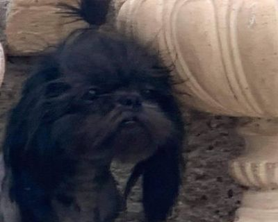 Tiny  Imperials     Shihtzu Puppies Full AKC Males
