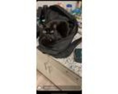 Adopt Asher a All Black American Shorthair / Mixed (short coat) cat in Colorado
