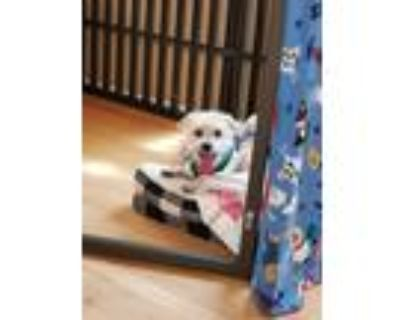 Adopt Zeke a Yorkshire Terrier