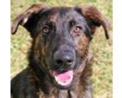 Adopt Dexter a German Shepherd Dog, Mixed Breed