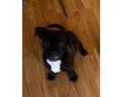 Adopt Pickles a Pug / Beagle dog in Denver, CO (31501157)