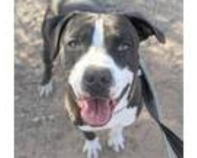Adopt THOR a Staffordshire Bull Terrier, Mixed Breed