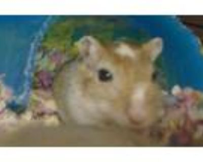 Adopt Taylor a Gerbil small animal in Raleigh, NC (31680932)