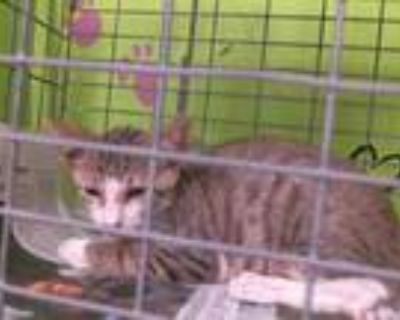 Adopt BOK CHOY a Brown Tabby Domestic Shorthair / Mixed (short coat) cat in