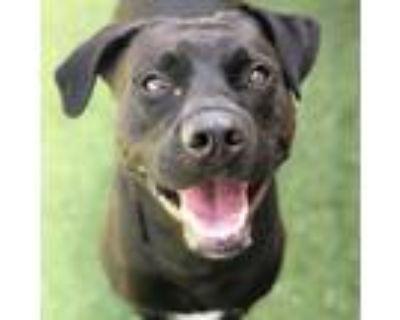 Adopt Seven a Black Labrador Retriever