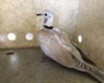 Adopt a Tan Dove / Mixed bird in Castaic, CA (31512817)