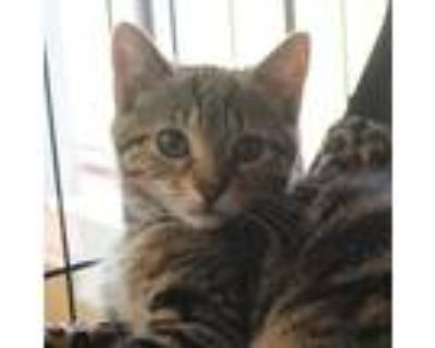 Adopt Blanche a Gray or Blue Domestic Shorthair / Mixed cat in Buffalo