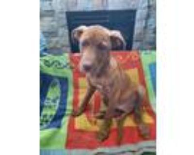 Adopt Mojo a Labrador Retriever, Mixed Breed