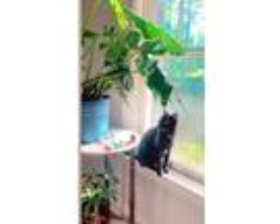 Adopt Sphinx a Black (Mostly) American Shorthair / Mixed (short coat) cat in