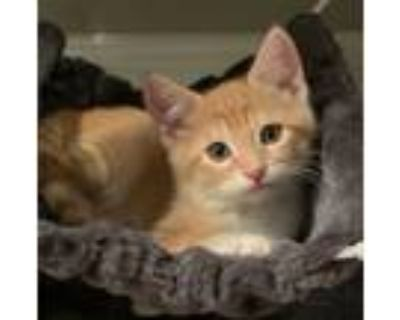 Adopt Creek a Orange or Red (Mostly) Domestic Shorthair (short coat) cat in