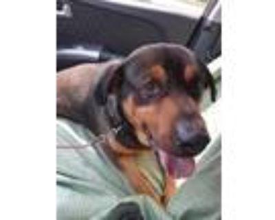 Adopt Titan a Brown/Chocolate - with Black Labrador Retriever / Rottweiler /