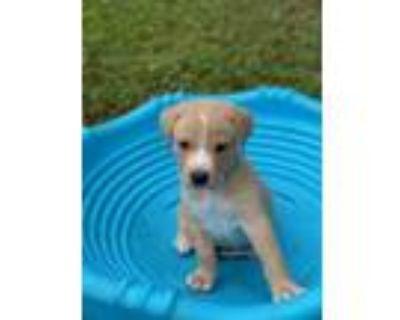 Adopt Audie a Labrador Retriever