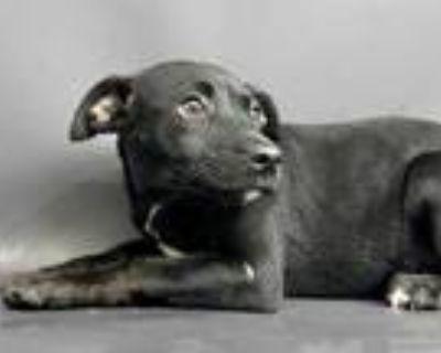 Adopt Sandy a Black Labrador Retriever / Mixed dog in Arlington, TX (31570582)