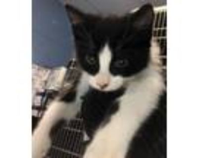 Adopt Fancy Pants-ADOPTED a Domestic Short Hair