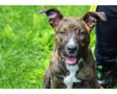 She-ra, Pit Bull Terrier For Adoption In Derwood, Maryland
