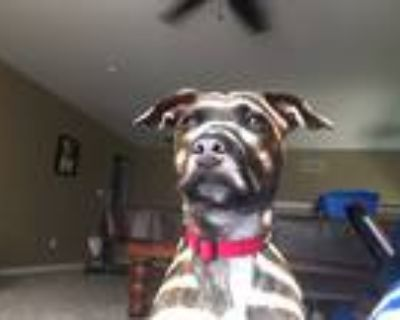Adopt Bella a Brindle - with White Boxer / Australian Shepherd / Mixed dog in