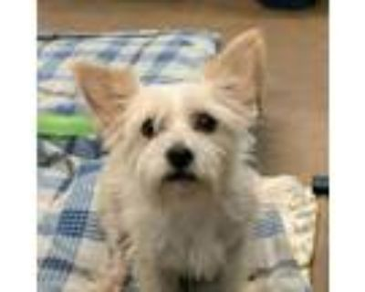 Adopt Poppy a White - with Tan, Yellow or Fawn Terrier (Unknown Type