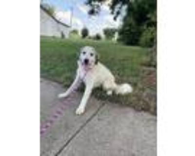 Adopt 48284216 a White Great Pyrenees / Shepherd (Unknown Type) / Mixed dog in
