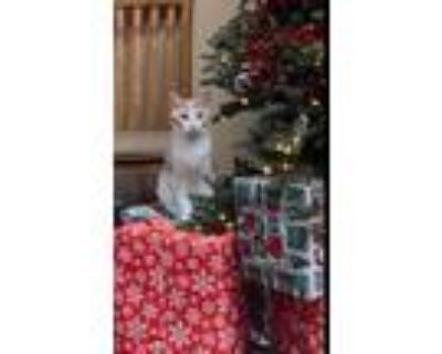 Adopt Lestrade a Orange or Red (Mostly) Domestic Shorthair / Mixed cat in