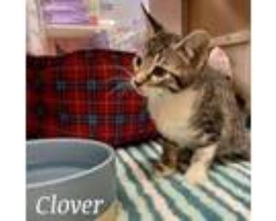 Adopt Clover a Domestic Short Hair