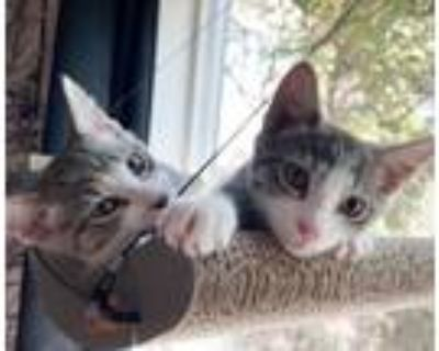 Adopt Lark and Finch a Domestic Short Hair