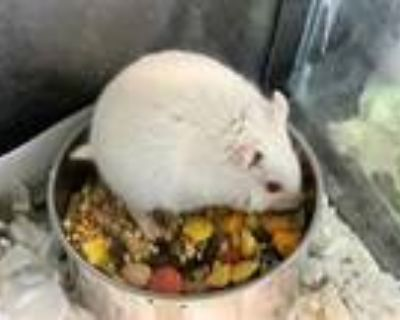 Adopt PANDORA a White Hamster / Mixed small animal in Los Angeles, CA (30994218)