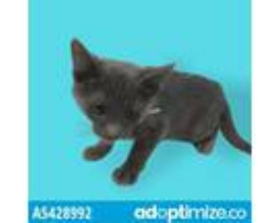 Adopt EMERALD a Gray or Blue Domestic Shorthair / Mixed (short coat) cat in