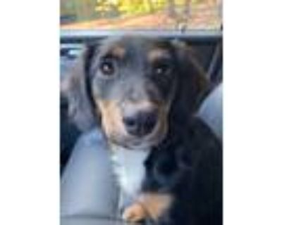 Adopt Ava Hope a Tricolor (Tan/Brown & Black & White) Spaniel (Unknown Type) /