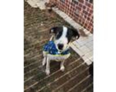 Adopt Daisy a White - with Black English Setter / Pointer / Mixed dog in Broken
