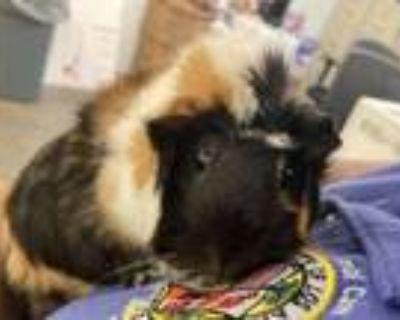 Adopt BARBARA a Guinea Pig