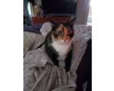 Adopt Candy a Tortoiseshell American Shorthair / Mixed (short coat) cat in
