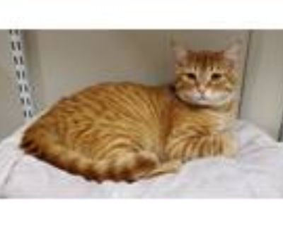 Adopt Rusty a Domestic Shorthair / Mixed (short coat) cat in Fremont