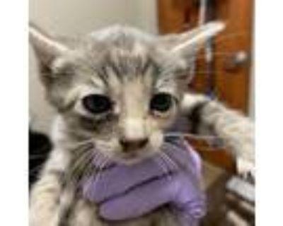 Adopt Porthos a Gray or Blue Domestic Shorthair cat in Yuma, AZ (31256276)