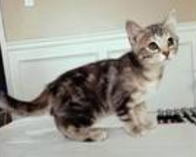 Adopt LiL' Grey Kitten a Gray or Blue (Mostly) Domestic Shorthair / Mixed (short