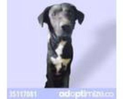 Adopt negro a White Flat-Coated Retriever / Mixed dog in El Paso, TX (31525924)