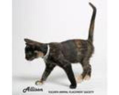 Adopt Allison (756) a Brown or Chocolate Domestic Shorthair / Domestic Shorthair