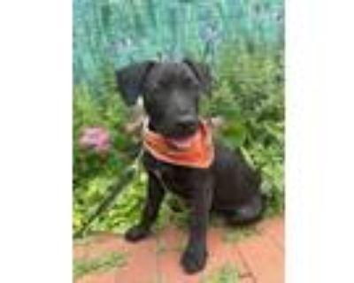 Adopt Tiny a Labrador Retriever