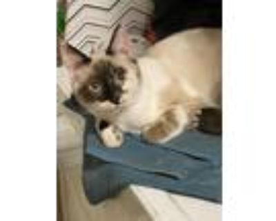 Adopt Parsley a Cream or Ivory (Mostly) Siamese (short coat) cat in Fort Worth