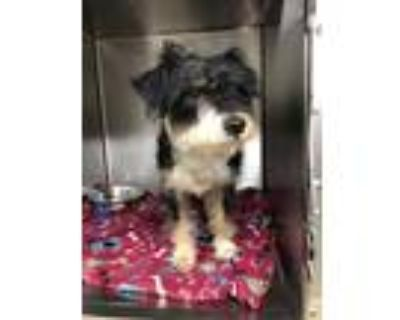 Adopt 48046489 a Black Terrier (Unknown Type, Small) / Mixed dog in Fort Worth