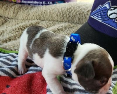 AKC French Bull Dog Puppies